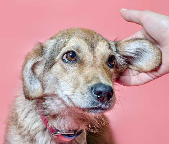 dog's ears being rub
