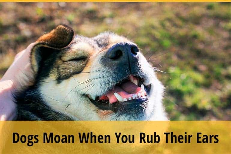 Why Do Dogs Moan When You Rub Their Ears