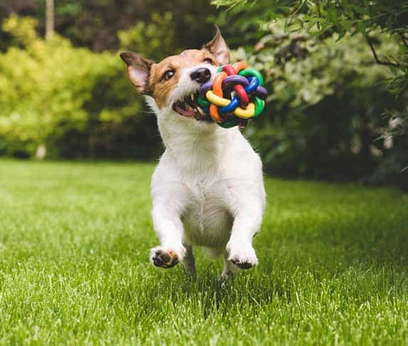 dog showing its toy