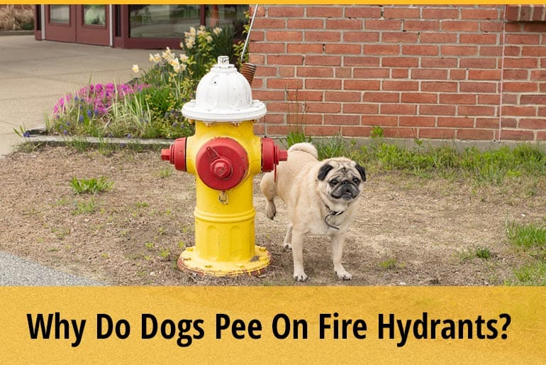 Why Do Dogs Pee On Fire Hydrants