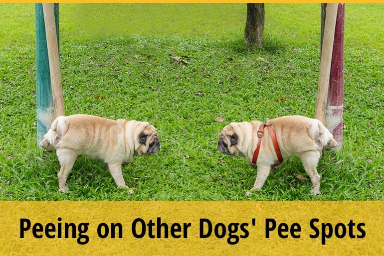 Why Do Dogs Pee On Other Dogs' Pee Spots