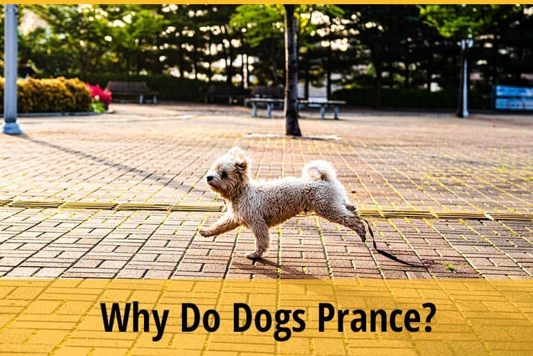 Why Do Dogs Prance