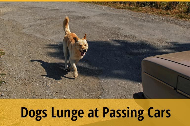 Why Does My Dog Lunge at Passing Cars