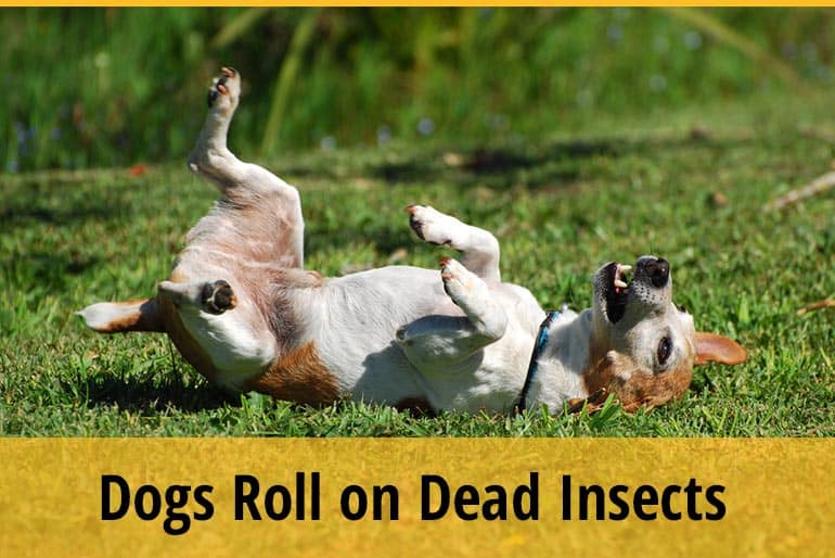 Why Does My Dog Roll on Dead Insects
