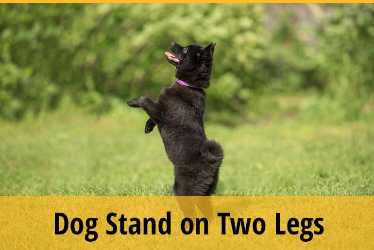 Why Does My Dog Stand On Two Legs
