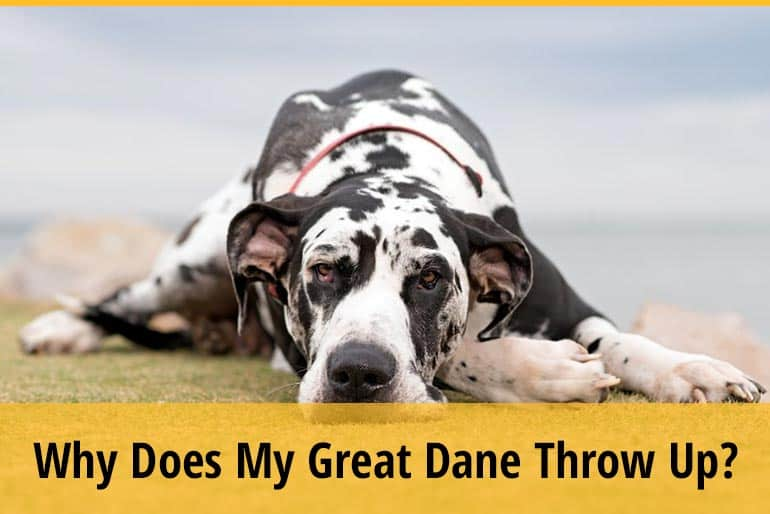 Why Does My Great Dane Throw Up