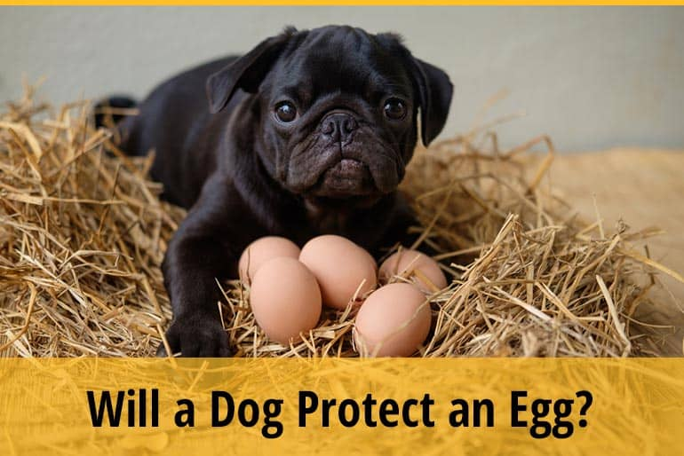 Will a Dog Protect an Egg