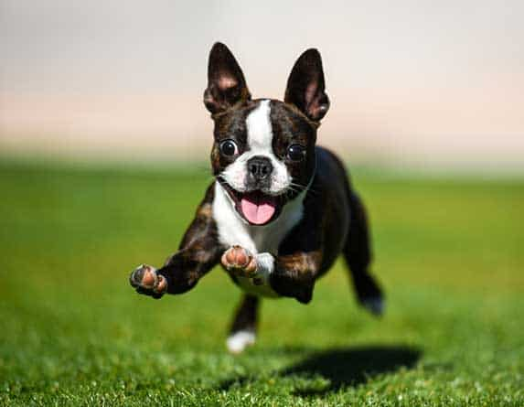 boston terrier running
