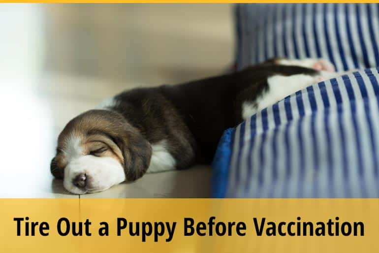 How To Tire Out A Puppy Before Vaccinations
