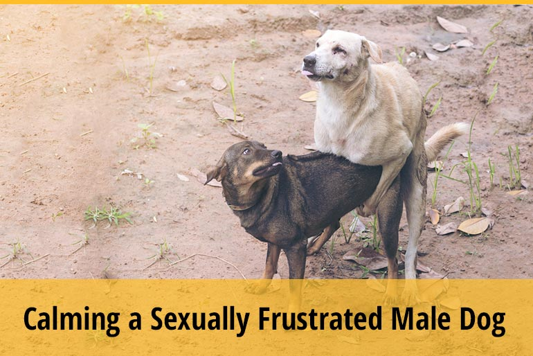 6 Ways Of Relief For Sexually Frustrated Male Dog
