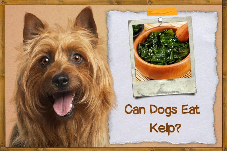 can dogs eat kelp