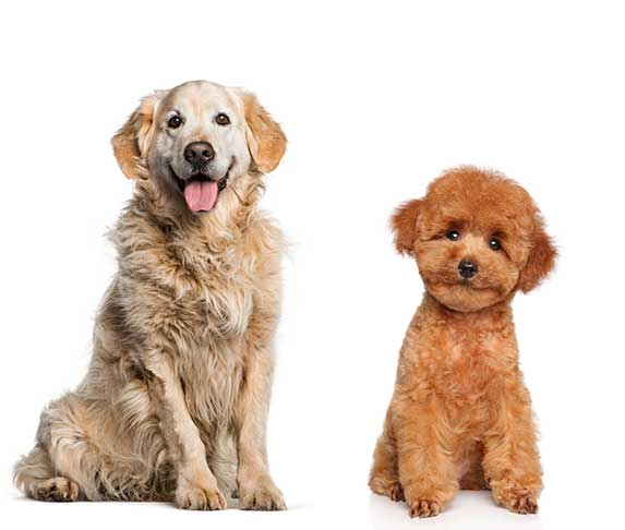 Golden Retriever and Poodle