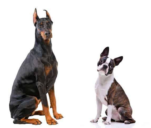 Doberman Pinscher and Boston Terrier
