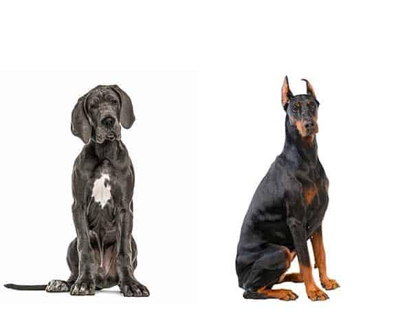 Dobermann and Great Dane