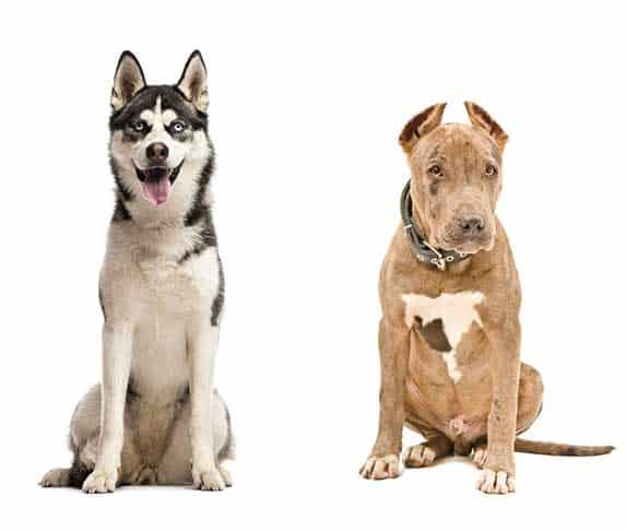 Pitbull and Siberian Husky