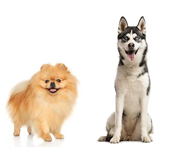 Pomeranians and Siberian Husky