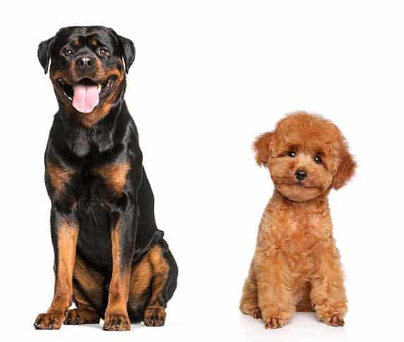 Rottweilers and Poodles