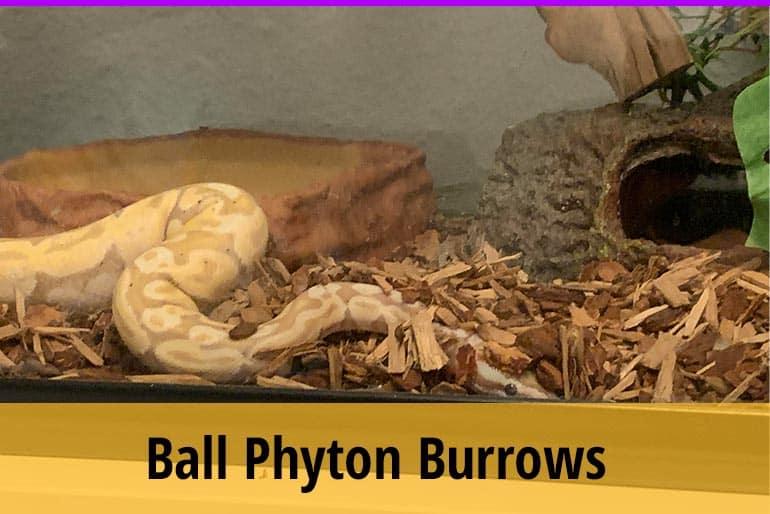 Why Do Ball Pythons Burrow