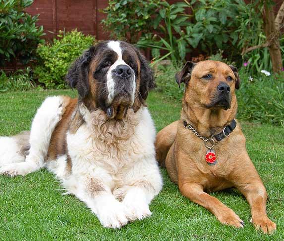 a st. bernard dog breed