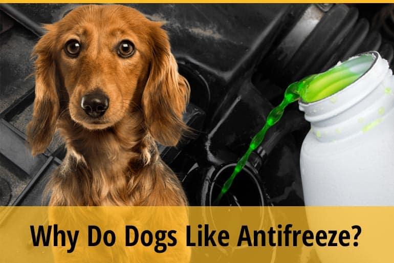 Why Do Dogs Like Antifreeze