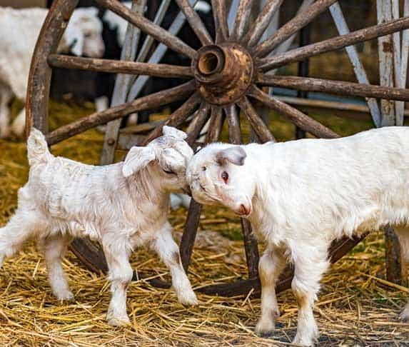 goat headbutt each other