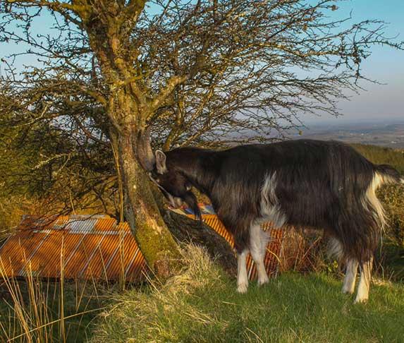 goat headbutt a tree