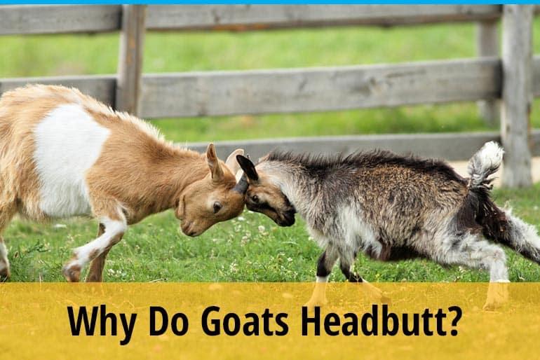 Why Do Goats Headbutt