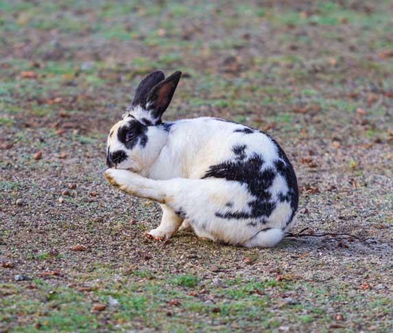rabbit licking its foot