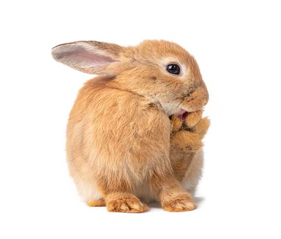 rabbit licking its foot after scratching